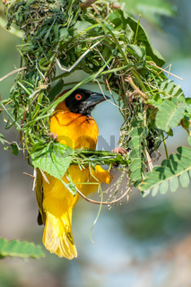 Yellow masked weaver building nest