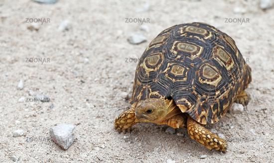 Leopardenschildkröte, Pantherschildkröte, Namibia, leopard tortoise, Stigmochelys pardalis