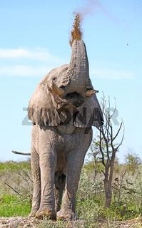 Elefant wirft mit Dreck, Etosha, Namibia; african elephant throws dirt, Loxodonta africana
