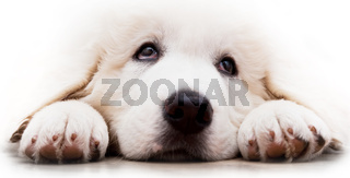 Cute white puppy dog lying and looking up. Polish Tatra Sheepdog