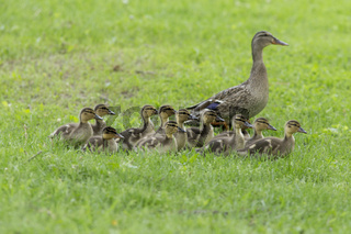 Mallard Family in spring