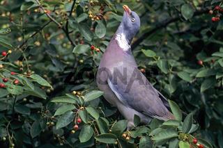 Ringeltaube erreicht eine Koerperlaenge von 38 - 44cm - (Foto Altvogel) / Common Wood Pigeon has a size at 38 to 44cm - (Culver - Photo adult bird) / Columba palumbus