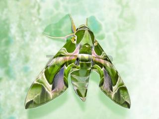 Mamoth moth