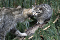 Wildkatze, Common Wild Cat