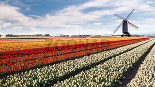 Windmill on field of tulips