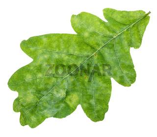 fresh green oak leaf close up isolated on white