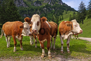 Bayerische Kühe