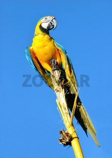 Amazonian Blue-and-yellow Macaw - Ara ararauna in front of a blue sky
