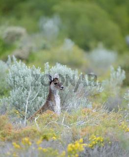 Juvenile Kangaroo