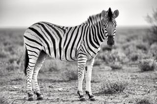 beautiful zebra at etosha
