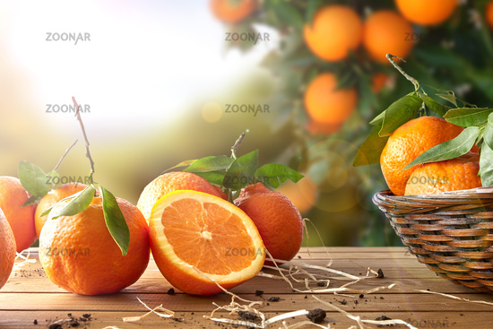 Group of oranges on basket and wooden table in field