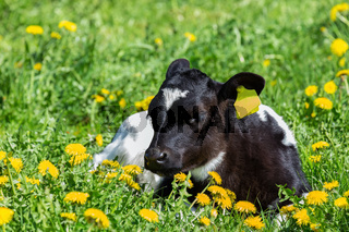 Newborn calf lying in green meadow with yellow dandelions