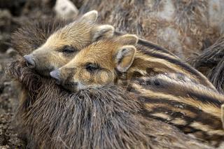 Wildschweinfamilie