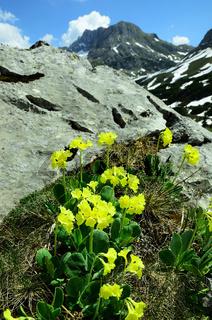 Alpenaurikel vor Alpenkulisse