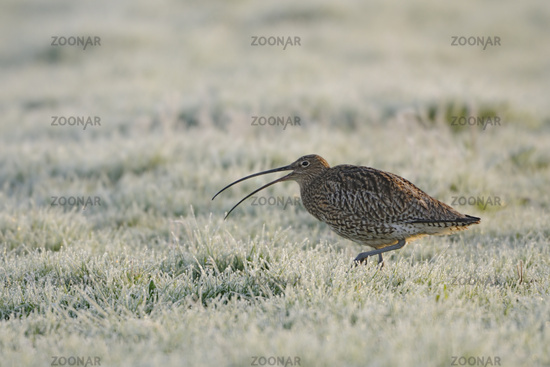 bei der Balz... Großer Brachvogel *Numenius arquata*