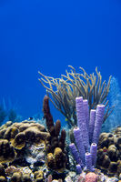 Coral in the Caribbean