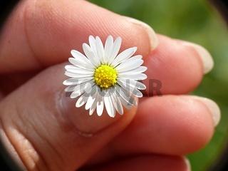 Gänseblümchen in der Hand