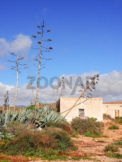 Blütenstände von Agaven vor weißen Häusern