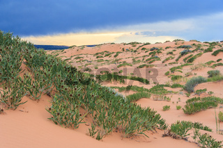 Green desert vegetation in Coral Pink Sand Dunes State Park in Utah at sunset