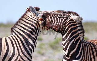 Kämpfende Zebras, Steppenzebras, Etosha, Namibia, fighting Plains Zebras, Equus quagga