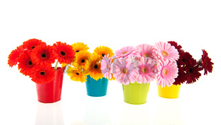Bouquets Gerber flowers in colorful buckets