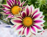 White and purple gazania flowers
