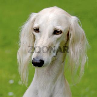 Typical  white Saluki dog on a green grass lawn