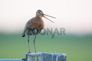 Black-tailed Godwit on pole