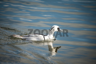 Smew duck