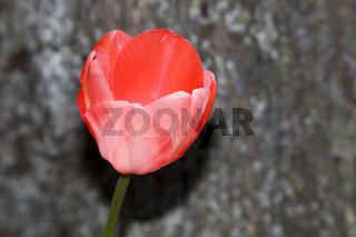 Rote Tulpe Tulipa