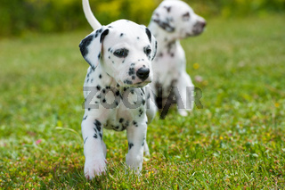 Dalmatinerwelpen