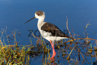 black-winged stilt at nakuru national park