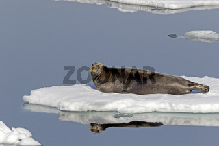 Bartrobbe auf einer Eisscholle, Spitzbergen, Norwegen, Europa / Erignathus barbatus