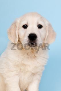Puppy golden retreiver