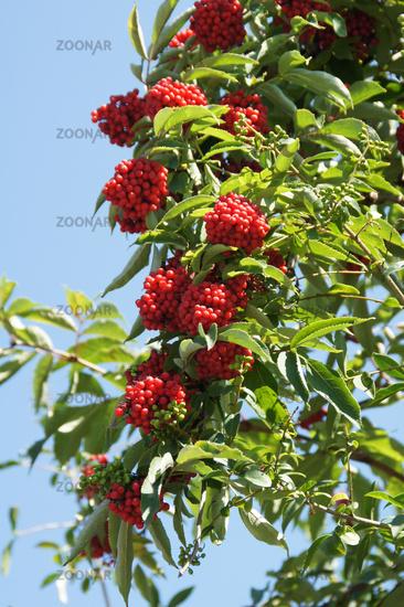 Sambucus racemosa, Traubenholunder, Redberry elder