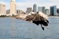 Pelican zur Landung