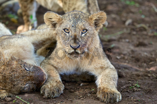 lion cub looking at me