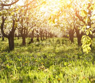 Blossoming cherry tree garden