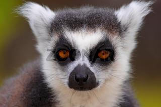 Katta Lemur Nahaufnahme in Madagaskar