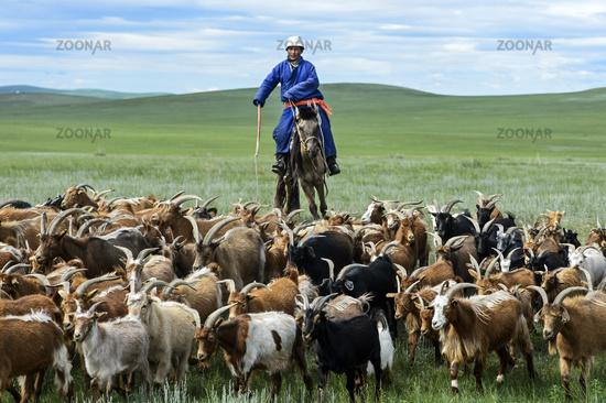 Berittener mongolischer Nomade mit Herde Kaschmirziegen, Mongolei