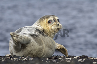 Harbor seal lying on a rock island Bering winter day