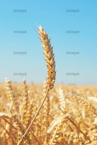 Weizenfeld / Wheat Field