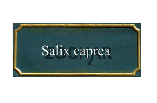 schild Salix caprea, Salweide, Palmweide