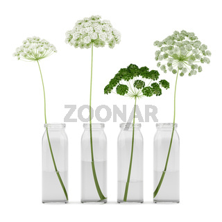 wild carrot flowers in jars isolated on white background. 3d illustration