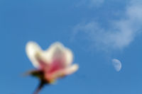 Pink magnolia blossom over evening sky and moon in spring