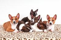 Basenji Hund, auch Kongo-Terrier genannt