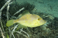 Stephanolepis diaspros, Feilenfisch, Gozo, Malta