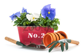 Crate Pansy plants
