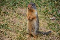 Squirrel in British Columbia