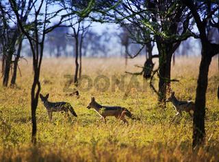 Jackals on savanna. Safari in Serengeti, Tanzania, Africa